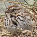 Leaves-song-sparrow-regina-kreger-285_small