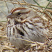 Caption: Song Sparrow, Credit: Regina Kreger