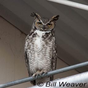 City-great-horned-owl-bill-weaver-285_small