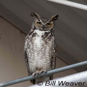 Caption: Great Horned Owl, Credit: Bill Weaver