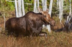 Caption: Moose - Barbara Friedman via Flickr