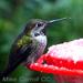 Caption: Anna's Hummingbird, Credit: Mike Carroll