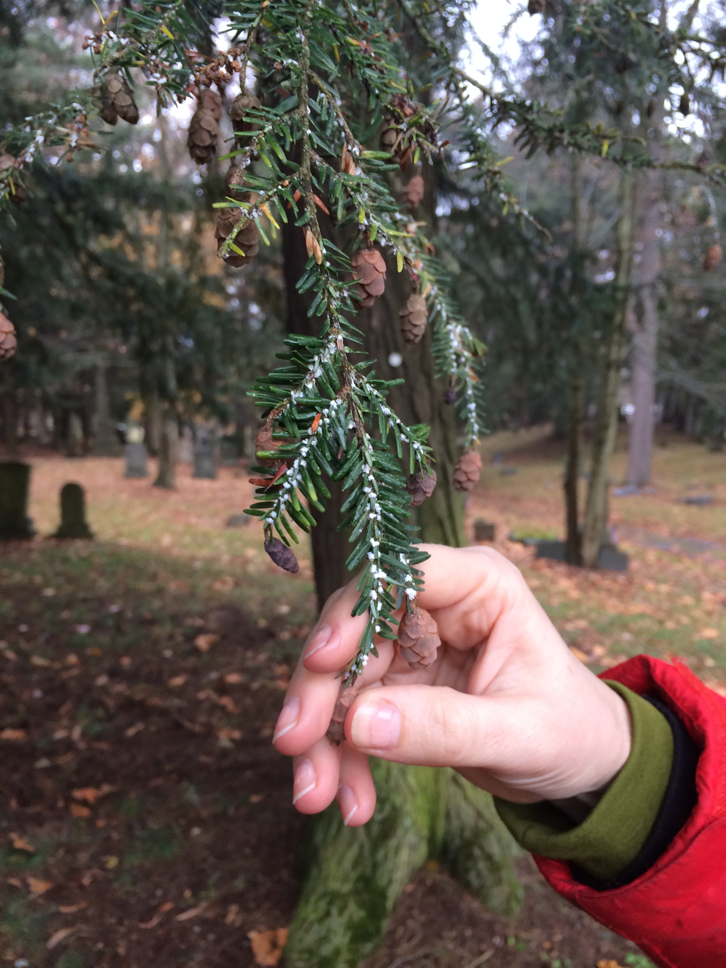 Caption: White fuzz on branches harbors the destructive hemlock woolly adelgid., Credit: Caitlin Whyte