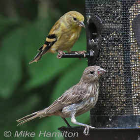 Feeder-with-finches-mike-hamilton-285_small