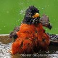 Wet-american-robin-steve-shelasky-285_small