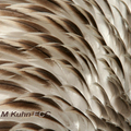 Feathers-of-pelican-m-kuhn-285_small