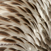 Caption: Pelican Feathers, Credit: M Kuhn