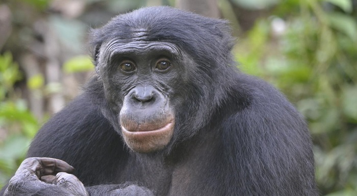 Caption: Fizi, an adult male bonobo at Lola ya Bonobo sanctuary., Credit: Christopher Krupenye