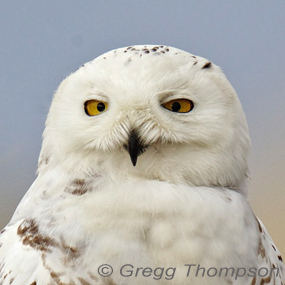 Caption: Snowy Owl, Credit: Gregg Thompson