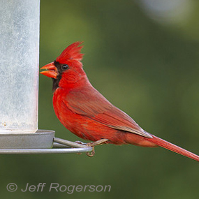 Caption: Northern Cardinal, Credit: Jeff Rogerson