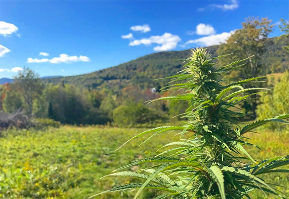 Caption: A thick marijuana plant grows on a hilly green Vermont farm under a sunny blue sky., Credit: LiftedTV/Instagram