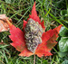 Caption: A thick marijuana bud sits atop a red maple leaf., Credit: LiftedVD/Instagram