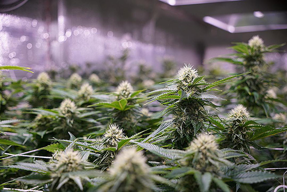 Caption: An industrial marijuana growhouse is thick with white-haired cannabis plants close to harvest., Credit: Extensively Reviewed/Flickr