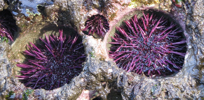 Caption: Purple sea urchins grow to fit perfectly inside cavities that they create themselves. , Credit: Mike Russell (CC BY)