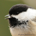 Caption: Black-capped Chickadee, Credit: Putneypics