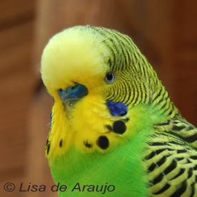 Caption: Parakeet, Credit: Lisa de Araujo
