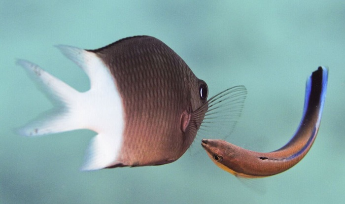 "Caption: A wrasse ""cleans"" a larger fish. , Credit: Simon Gingins"