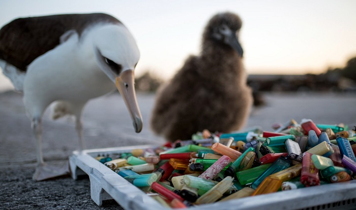 Caption: Laysan albatross eye plastic lighters picked up during a beach cleanup, Papah?naumoku?kea Marine National Monument in the Hawaiian Islands., Credit:  NOAA Office of National Marine Sanctuaries