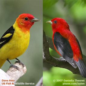 Caption: Tanagers