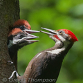 Woodpecker-nest-pileated-greggt-285_small
