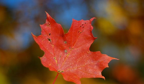 Caption: A slightly weathered red maple leaf fills the frame against a blurry fall forested background., Credit: Ankakay/Flickr