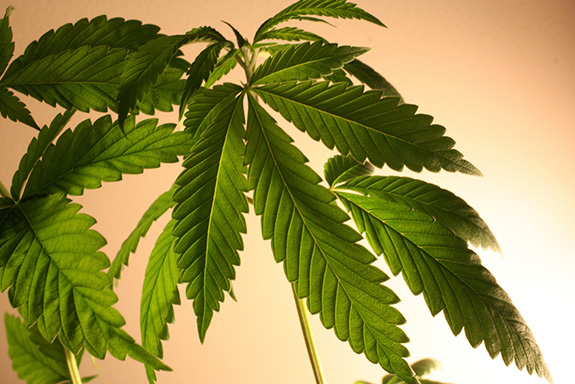 Caption: A bright green hemp leaf is backlit by a strong light. , Credit: Chris H/Flickr