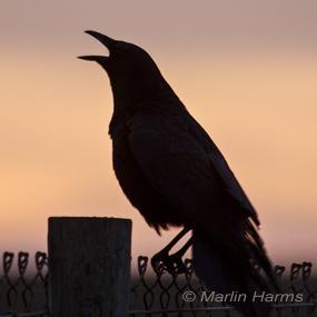 Caption: American Crow, Credit: Marlin Harms