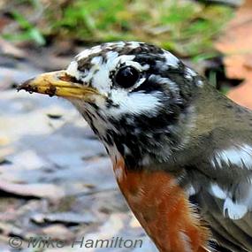 Caption: Leucistic American Robin, Credit: Mike Hamilton