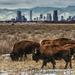 Caption: Bison graze near Denver, Credit: Hans Watson