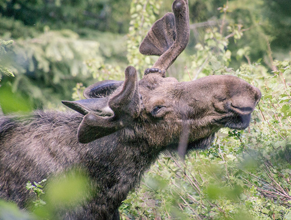 Caption: A happy moose turns its head towards the camera as it eats some delicious greenery., Credit: Devin Stein/Flickr
