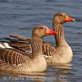 Greylag-geese-frans-vandewalle-285_small