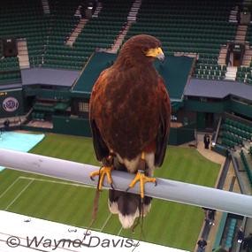 Caption: Rufus the Hawk, Credit: Wayne Davis