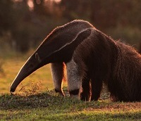 Caption: Giant Anteater, Credit:  (Projeto Tamanduá/www.tamandua.org)