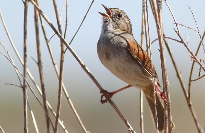 Caption: Swamp Sparrow, Credit: Robert Lachlan