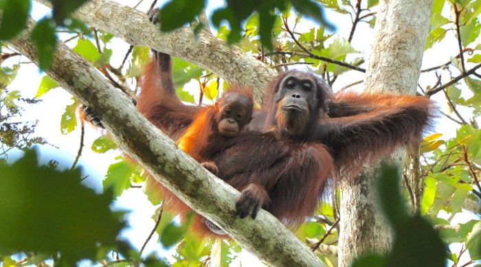 Caption: An orangutan mother and infant in heavily disturbed landscape dominated by oil palm plantations in the Lower Kinabatangan floodplain, Malaysia Borneo. , Credit: (HUTAN KOCP Kinabatangan Orang-utan Conservation Programme)