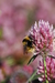 Caption: A bee collecting pollen from a flower., Credit: Photo used courtesy of Dave Goulson