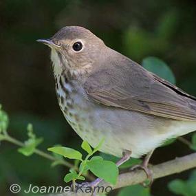 Swainsons_thrush-joanne-kamo-9-18-285_small
