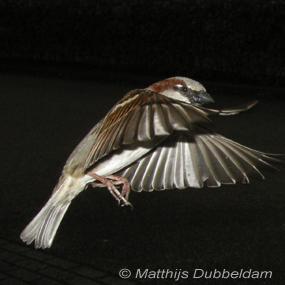 House-sparrow-matthijs_dubbeldam-285_small