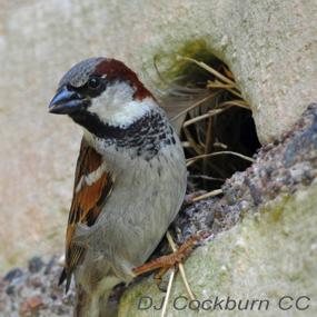 Ulm-house-sparrow-dj-cockburn-285_small