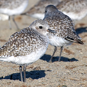 Migrating-black-bellied-plovers-ingrid-taylar-285_small