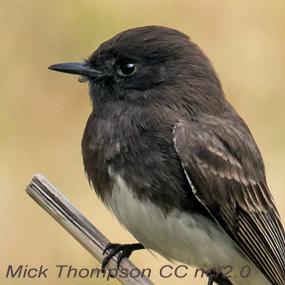 Black-phoebe-mick-thompson-285_small