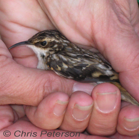 Chicago-brown-creeper-chris-peterson-285_small
