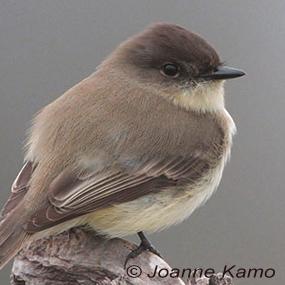 Eastern_phoebe_joanne_kamo-285_small