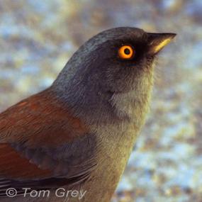 Yellow-eyed-junco-tom-grey-285_small