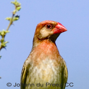 Abundant-red-billed-quelea-johann-du-preez-285_small
