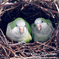Monk-parakeets-chris-bohinski-285_small