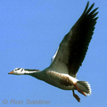 Bar-headed-goose-ron-saldino-really-285_small