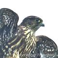 Merlin-the-bird-greggt-10-17-285_small