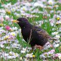 European-starling-flowers-josh-levinson-285_small