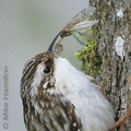 Hazel-wolf-brown-creeper-mikeh-285_small